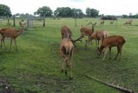 grupa jeleni na łące